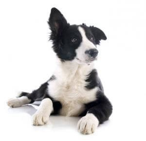Schilddrüsenunterfunktion beim Hund: Die Symptome sind denen bei Menschen ähnlich.